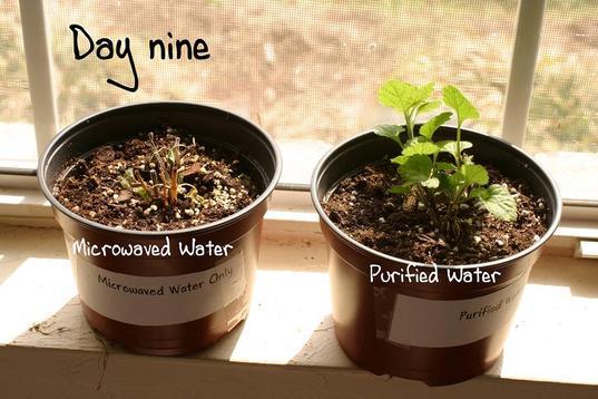 آب ماکروویو شده دیانای را تغییر داده و گیاهان را میکشد _ آیا مایکروفر سرطان زا است ؟ ماکروویو مواد مغذی غذا را از بین میبرد؟ غذاهای ماکروویویی خطرناک هستند؟